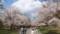 中島公園の桜・5