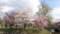 中島公園の桜・6