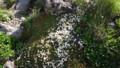 [上川][大雪山] イワヒゲ群落