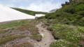 [上川][大雪山] 雪渓のわきに広がるお花畑