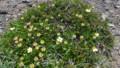 [上川][大雪山] 花を終えたチングルマ