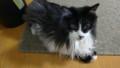 [猫] 耳毛ボーン