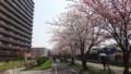 [札幌] 白石CRの桜・1