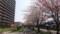 白石CRの桜・1