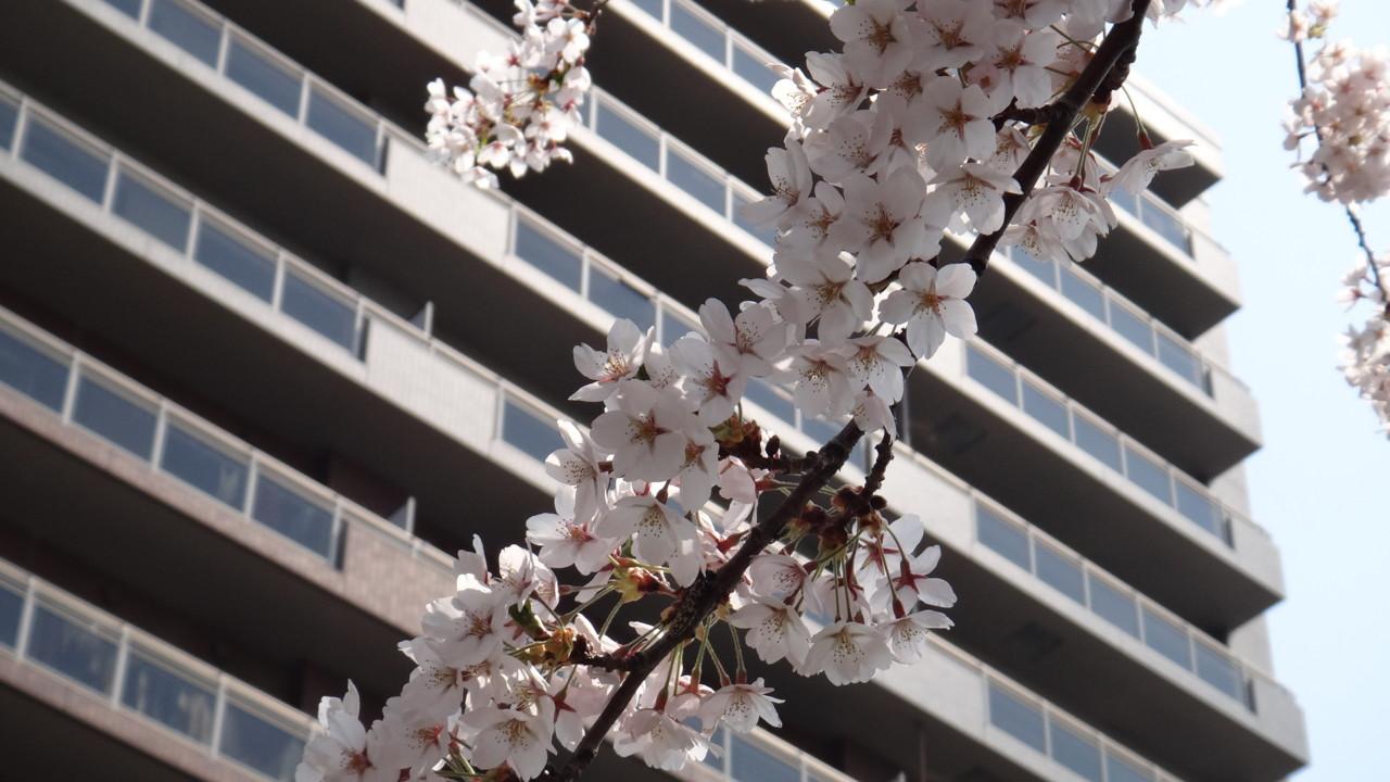 白石CRの桜・2