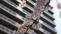 [札幌] 白石CRの桜・2
