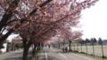 [札幌] 白石CRの桜・4