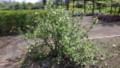 ハナスグリ3種・1