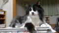 [猫] 山田くん座布団ぜんぶ取りなさい