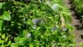 [留寿都][尻別岳] チシマフウロの群生