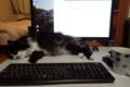 [猫] 作業のじゃまです