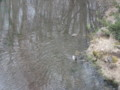 [蘭越][温泉][動物] 優雅に泳ぐカモのつがい