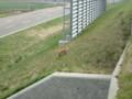 [当別][動物]キタキツネだった