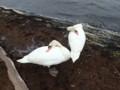 [苫小牧][動物]白鳥