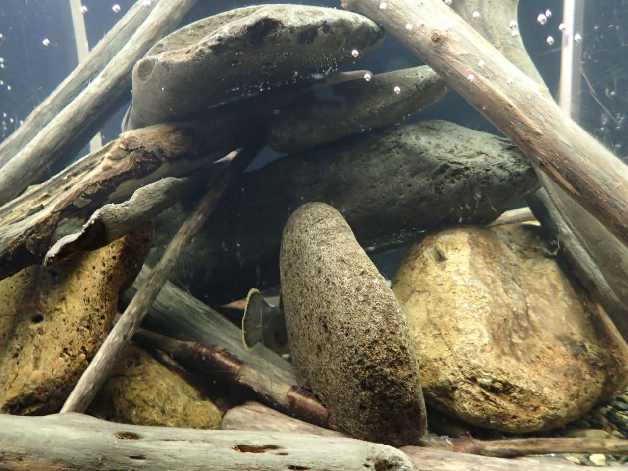 山の水族館 ウキゴリ