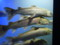 山の水族館 イトウ