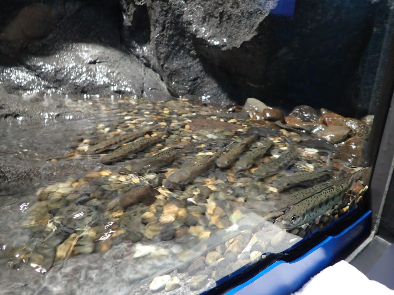 山の水族館 ヤマメ