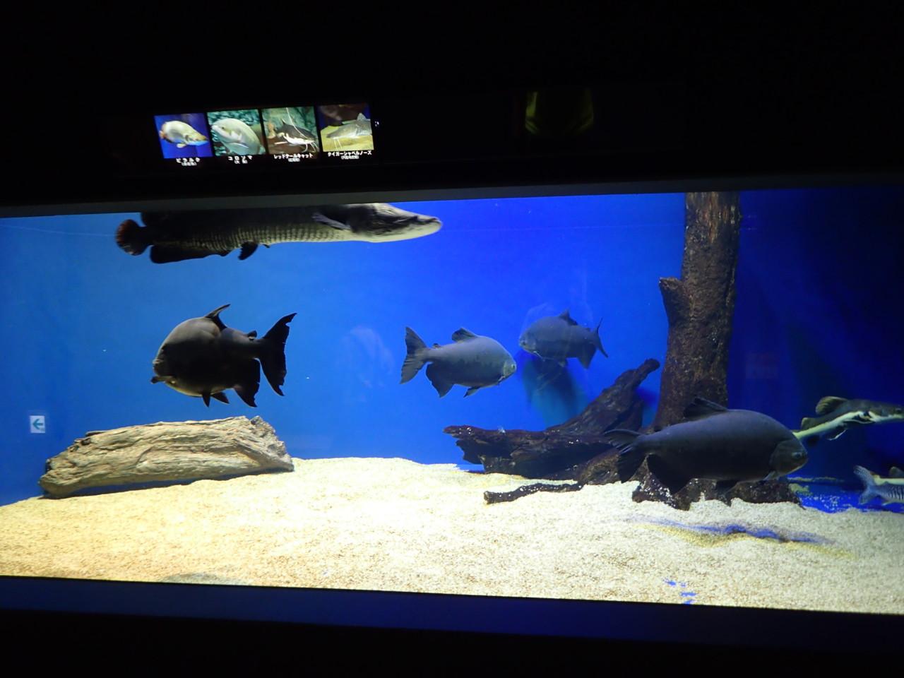 山の水族館 大型熱帯魚