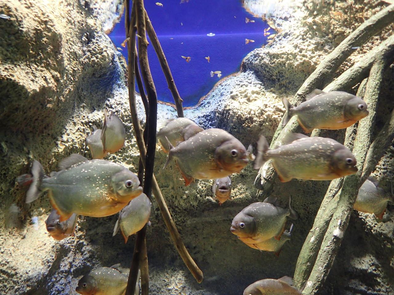 山の水族館 ピラニア