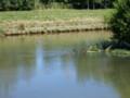 [札幌][動物]増水した発寒川を泳ぐ鴨