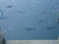 [香川]鯛が泳いでる!