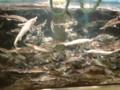 [美深][動物]チョウザメの稚魚