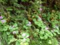 [様似][アポイ岳]5合目までの花たち・1 サクラソウ属
