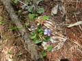 [様似][アポイ岳]5合目までの花たち・4 スミレ属