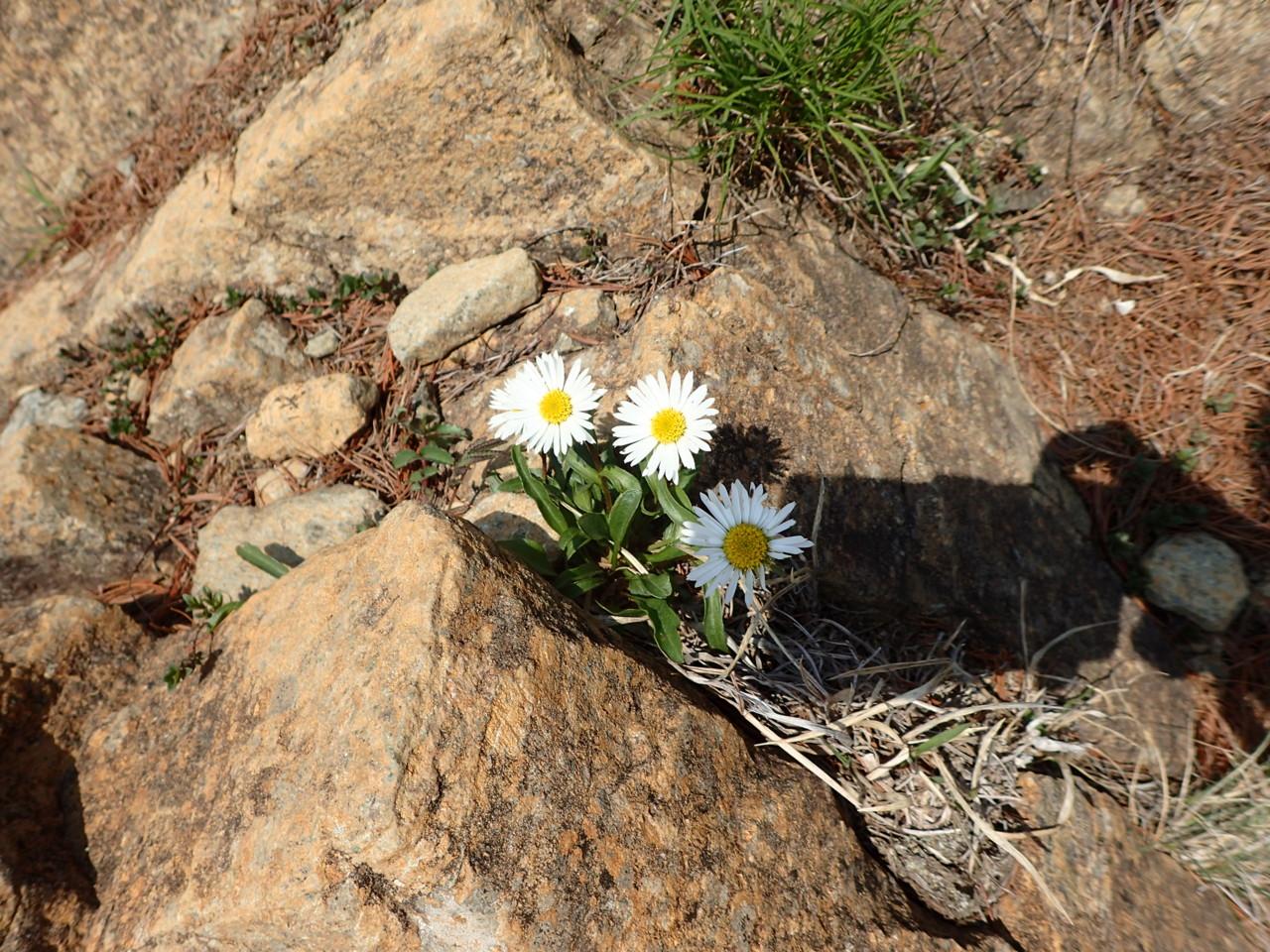 馬の背までの花たち・1 アポイアズマギク白花