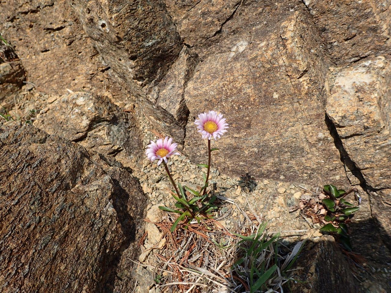 馬の背までの花たち・2 アポイアズマギク赤花