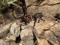 [様似][アポイ岳]馬の背までの花たち・3 スミレ属