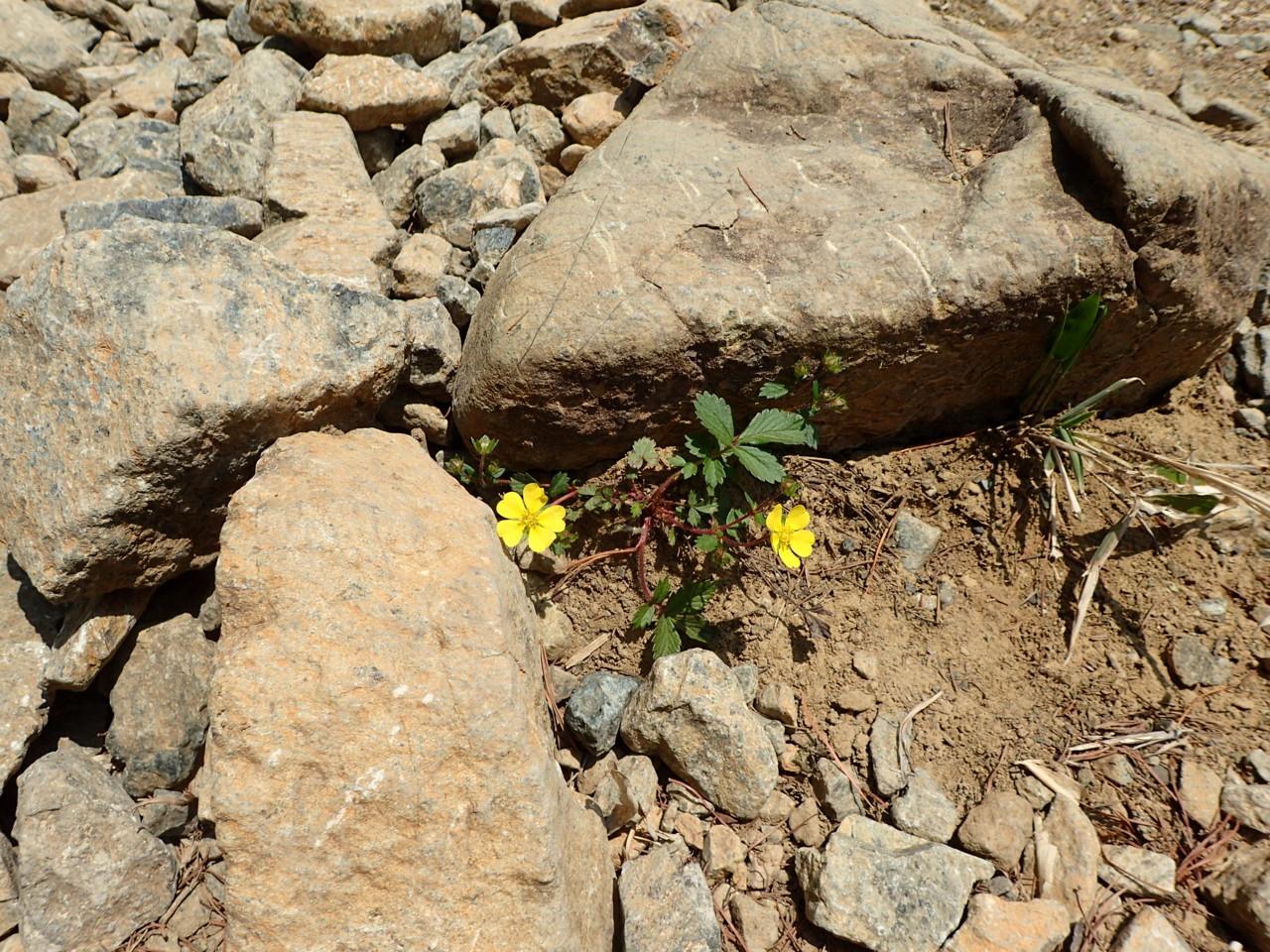 馬の背までの花たち・4 キンバイ属