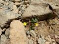 [様似][アポイ岳]馬の背までの花たち・4 キンバイ属