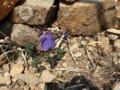 [様似][アポイ岳]馬の背までの花たち・5 オダマキ属