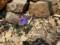 馬の背までの花たち・5 オダマキ属