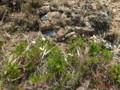 [様似][アポイ岳]山頂までの花たち・1 チングルマ