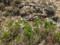 山頂までの花たち・1 チングルマ