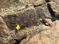 [様似][アポイ岳]山頂までの花たち・2 エゾキスミレ