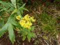 [赤井川][余市岳]花たち・2