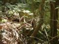 [鹿児島][屋久島][動物]ヤクザル(ピンボケ)
