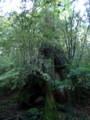[鹿児島][屋久島][縄文杉]三代杉