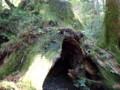 [鹿児島][屋久島][縄文杉]有名な空洞