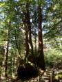 [鹿児島][屋久島][縄文杉]名もない巨木たち
