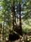 名もない巨木たち