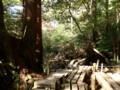 [鹿児島][屋久島][縄文杉]原始の森