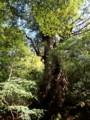 [鹿児島][屋久島][縄文杉]大王杉
