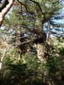 [鹿児島][屋久島][縄文杉]夫婦杉