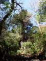 [鹿児島][屋久島][縄文杉]縄文杉