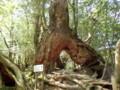 [鹿児島][屋久島][白谷雲水峡]くぐり杉