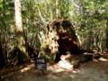 [鹿児島][屋久島][白谷雲水峡]シカの宿